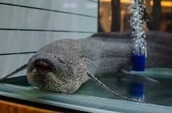 Lung fish dipnoi in a fish tank. A beautiful cute single Lung fish, Salamanderfish, Amphibious fish dipnoi in a fish tank royalty free stock photography