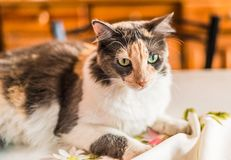A beautiful and cute tricolor calico cat. Selective focus. A beautiful and cute tricolor calico cat royalty free stock image