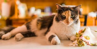 A beautiful and cute tricolor calico cat. Selective focus. A beautiful and cute tricolor calico cat royalty free stock photo