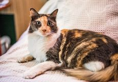 A beautiful and cute tricolor calico cat. Selective focus. A beautiful and cute tricolor calico cat stock photo