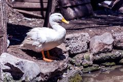 White domestic duck sits close to lake water. Beautiful and cute white domestic duck sits close to lake water on the stones. Bird in zoo park concept. Close up Stock Image