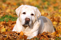 The beautiful cute yellow labrador retriever in the park in autu Royalty Free Stock Photo