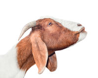 Beautiful, cute, young white and red goat isolated on white background. Farm animals. Funny goat try to kiss someone. Spotted goat on farm isolated on white Royalty Free Stock Images