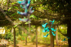 Beautiful cyan flower called Strongylodon macrobotrys in monastery Chua Truc Lam Dalat, Vietnam Royalty Free Stock Photos