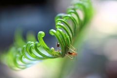Beautiful Cycad green leaves with ants. Stock Photo