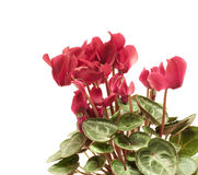 Beautiful cyclamen Stock Photo
