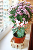 Beautiful  cyclamen in a basket Stock Photo
