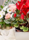 Beautiful cyclamen bud, cyclamen flowers in pot. And daisy flower, beautiful bouquet of flowers Stock Image