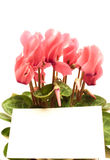 Beautiful cyclamen with empty greeting card Stock Photos