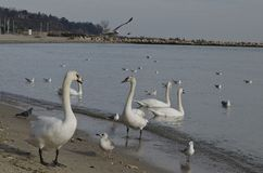 Beautiful cygnets on the shore stock photography