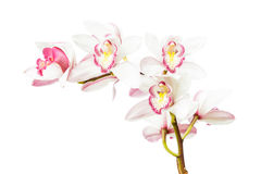 Beautiful cymbidium flower orchid close up Stock Photography