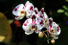 Beautiful cymbidium orchid Stock Image