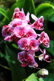Beautiful cymbidium orchid Royalty Free Stock Image