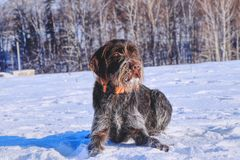 A beautiful czech dog named Cesky fousek relaxing on the snow and waiting for some actions on meadow. A hunting dog in real.  royalty free stock image