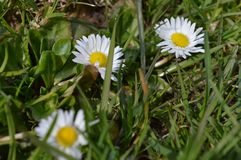 Three llittle daisies in the grass stock image
