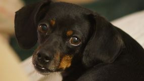 Beautiful Dachshund. A beautiful dachshund looking back with dreamy , loving eyes royalty free stock photography