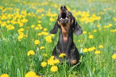 Beautiful dachshund dog, black and tan, having fun, barking loudly, lifting his head up, on a meadow of dandelions and green grass. In the spring royalty free stock photo