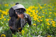 Beautiful dachshund dog, black and tan, wears a cap on his head on a meadow of dandelions and green grass in the summer.  stock images