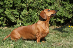 Beautiful Dachshund in the garden Royalty Free Stock Photography