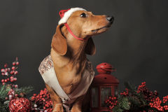 Beautiful  dachshund in a New Year's cap Royalty Free Stock Photo