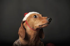 Beautiful  dachshund in a New Year's cap Stock Images