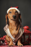 Beautiful  dachshund in a New Year's cap Stock Photo