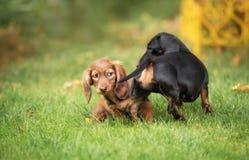Beautiful dachshund puppy dog with sad eyes  portrait Stock Images