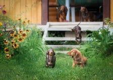 Beautiful dachshund puppy dog with sad eyes portrait Stock Photos