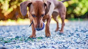 Beautiful dachshund walking on a stone path with a ball in its mouth with a green blurred background. Wonderful sunny day in the farm in Holland stock photography