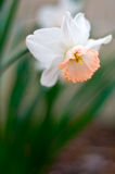 Beautiful daffodil stock images