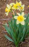 Beautiful daffodil Royalty Free Stock Images