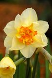 Beautiful daffodils Stock Photos