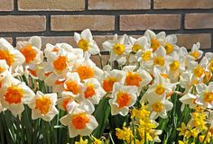 Beautiful Daffodils Stock Images