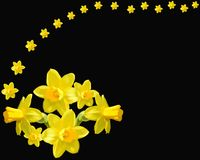 Beautiful daffodils black background stock illustration