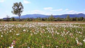 Beautiful daffodils field on mountain meadow. Flower field mountains. Beautiful daffodils field on mountain meadow. Narcissus growing near mountains. Beautiful stock video
