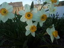 Beautiful daffodils on the flower bed stock image