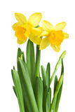 Beautiful daffodils Royalty Free Stock Images