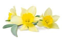 Beautiful daffodils Stock Image