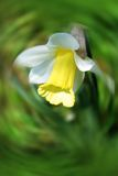 Beautiful Daffodils (Narcissus). On  on abstract blur background Royalty Free Stock Images