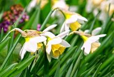Beautiful daffodils narcissus stock photo