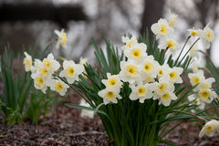 Beautiful daffodils at the park Royalty Free Stock Photography