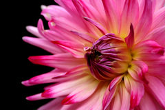 Beautiful dahlia Stock Photo