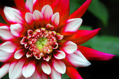 Beautiful Dahlia Royalty Free Stock Image