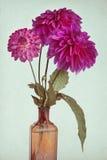 Beautiful dahlia background royalty free stock images
