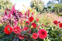 Beautiful dahlia blooming Stock Photos