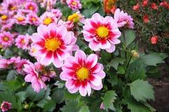 Beautiful dahlia blossom i Royalty Free Stock Images