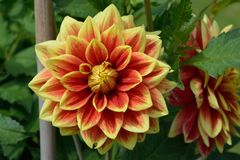 Beautiful dahlia. Close up of beautiful red and yellow dahlia Stock Images