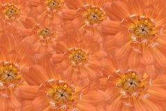 Beautiful dahlia daisies. Close up image of a group of Dahlia daisies Royalty Free Stock Photos