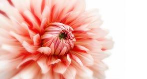 Beautiful dahlia flower blooms. On white background Royalty Free Stock Photos