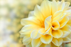 Beautiful dahlia flower. Flower design Stock Photography